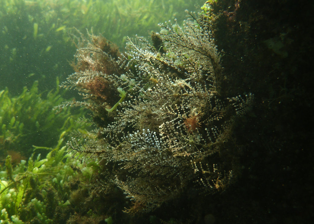 Christmas Tree Hydroid, Port River - Dan Monceaux (Force of Nature)