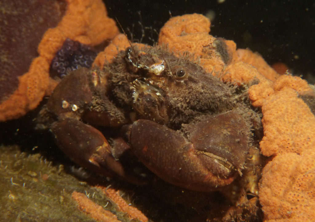 Crab on jetty pile, Port River - Dan Monceaux (Force of Nature)