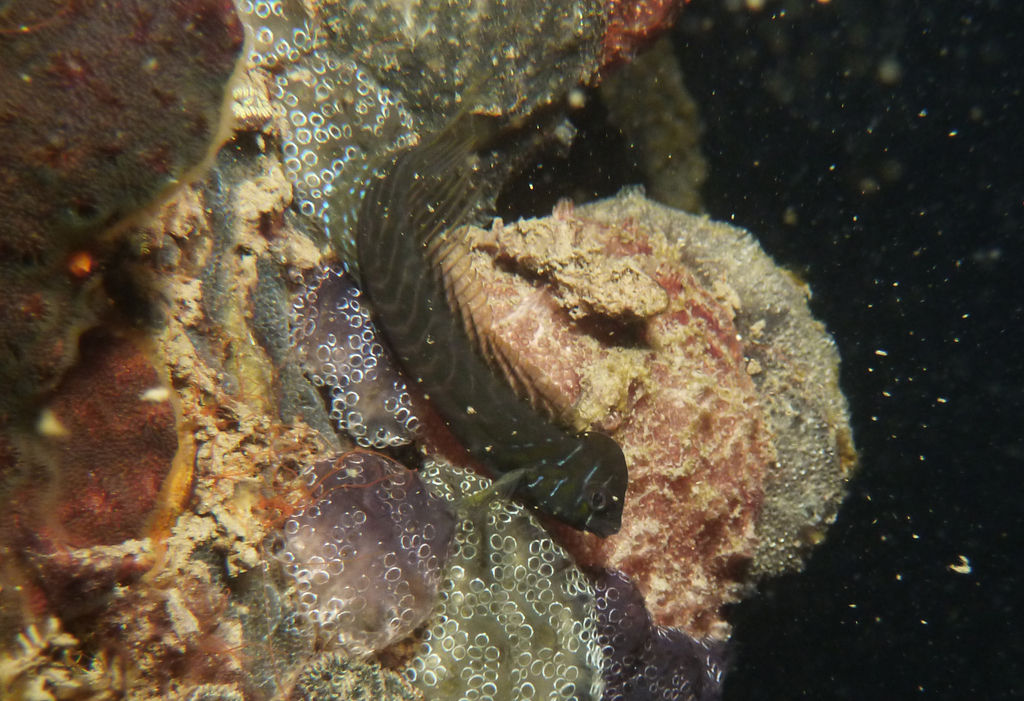 Oyster blenny on jetty pile, Port River - Dan Monceaux (Force of Nature)