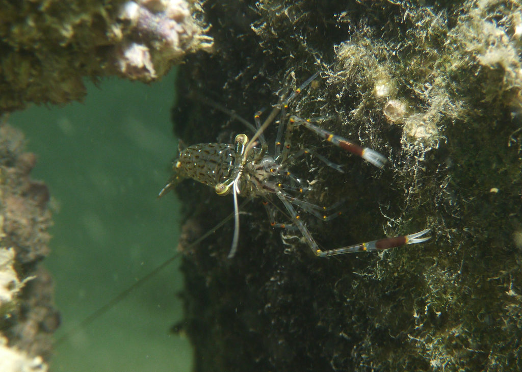 Rock pool shrimp, Port River - Dan Monceaux (Force of Nature)
